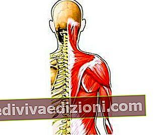 Definiția Muscle
