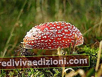 Definiția Fungi