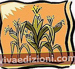 Definiția Corn